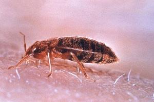 Jak-vyhubit-štěnice,-blechy-a-šváby