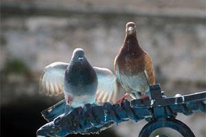 jak-se-zbavit-holubu