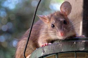 jak-se-zbavit-mysi-krys-potkanu